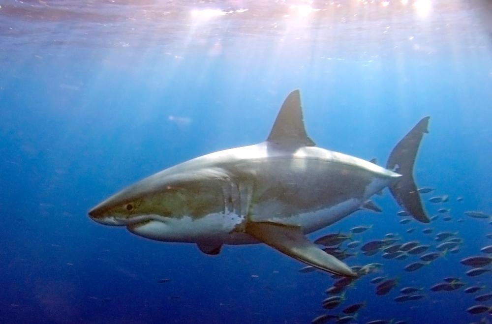 White shark copy