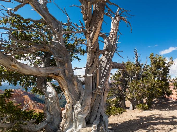 cedar-breaks-bristlecone-3