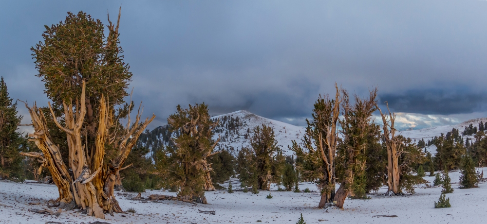Glowing snowbound bristlecones
