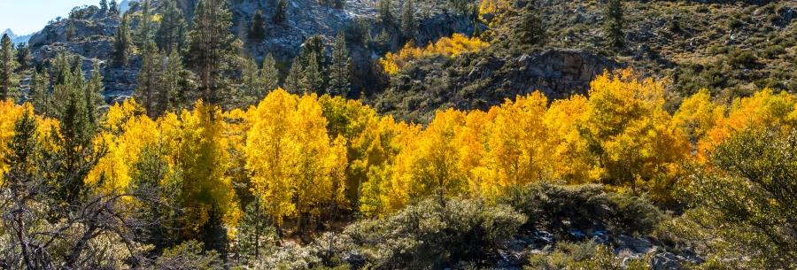 Golden aspen strand