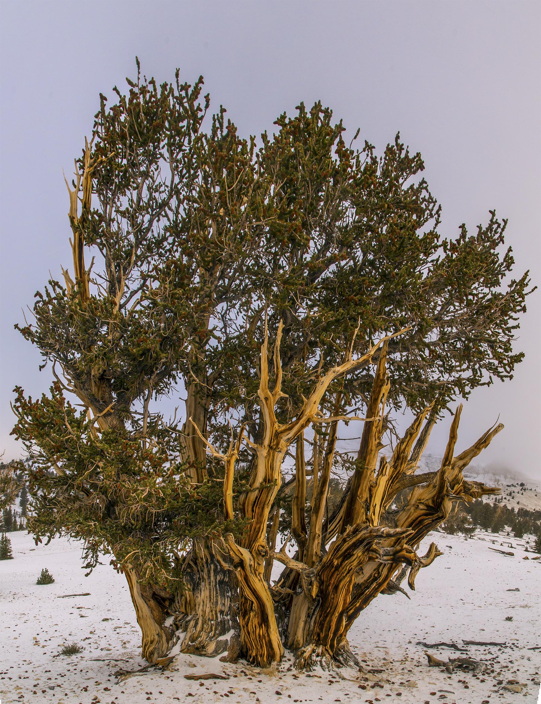 Tolkien's Treebeard