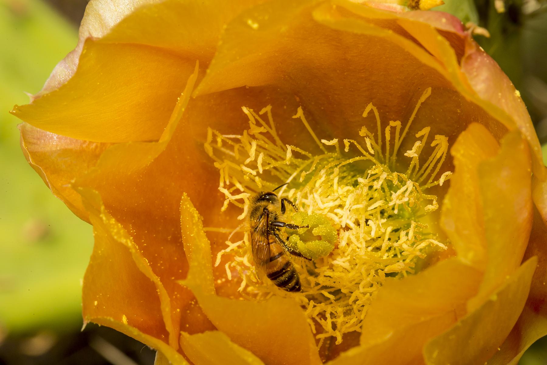 Cactus flower polinator