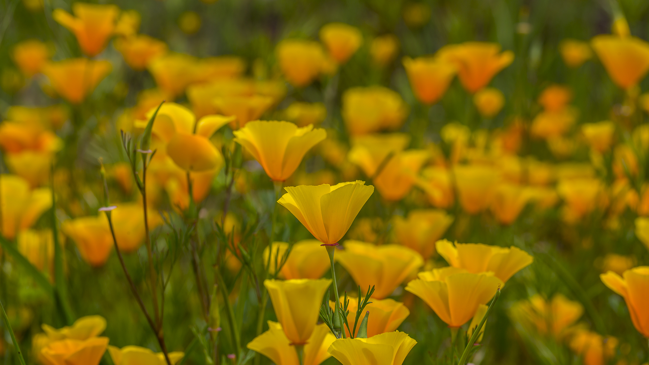 Easter morning poppies